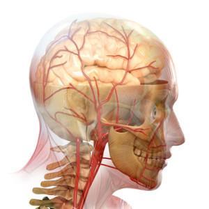 Gehirn des Menschen