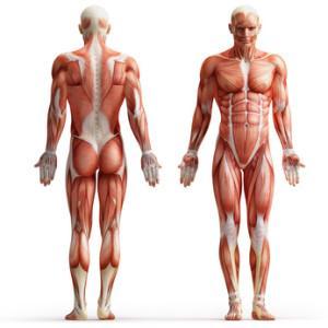 Die Skelettmuskulatur des Menschen