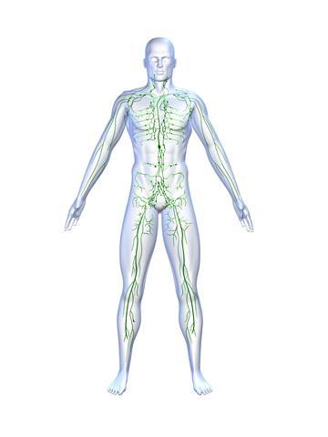 Lymphsystem | Lymphatische Organe, Lymphgefäßsystem
