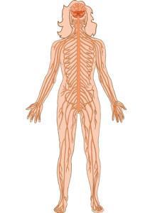 Nervensystem Übersicht
